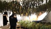 CBŚP zlikwidowało plantacje konopi