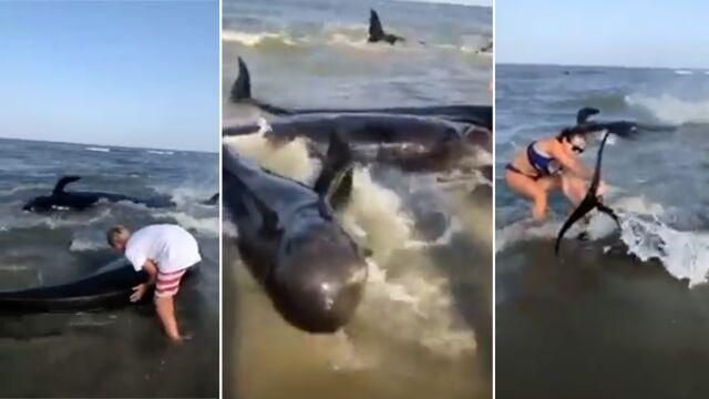 Kilkadziesiąt wielorybów wypłynęło na brzeg. Ratowali je wszyscy