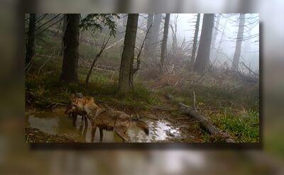 Kąpiel wilków w kałuży. Nagranie z fotopułapki