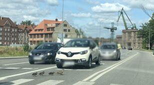 Przechodziła kacza rodzina, jeden  z kierowców ruszył i rozjechał pisklę