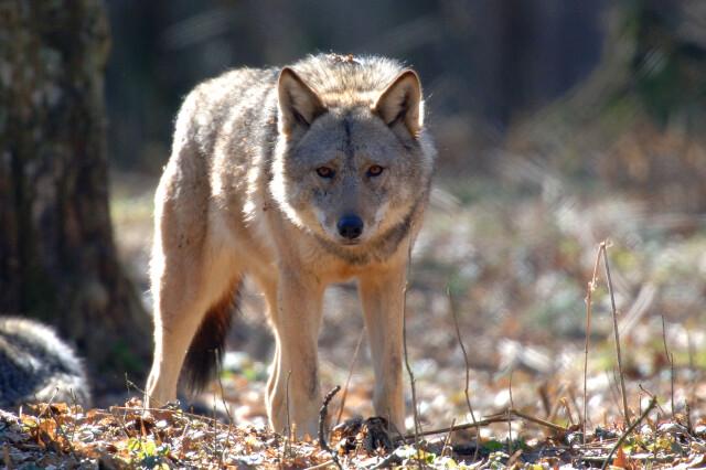 Jeepem gonili watahę wilków. Policja szuka turystów