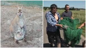 Kangurzyca z młodym w torbie uciekła z gospodarstwa na Pomorzu