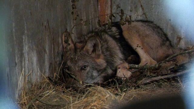 Wilk potrącony na Podlasiu trafił na rehabilitację.