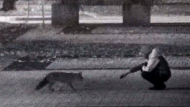 Dokarmiał lisa w parku.