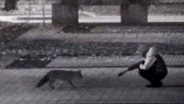 """Dokarmiał lisa w parku. """"Na dłuższą metę robi krzywdę zwierzęciu"""""""