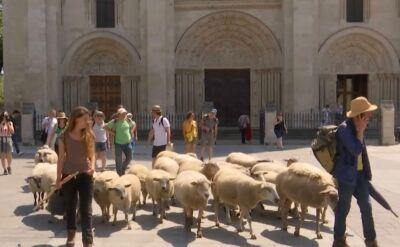 """Owce wyszły na ulice. Dzięki nim """"ludzie stają się bardziej ludzcy"""""""