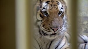 Border rescue tigers get a taste of freedom in Polish zoo