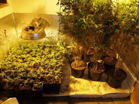 """Z roślin """"matek"""" możliwe było wyprodukowanie około 7 kg marihuany"""