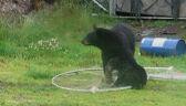 Niedźwiadek zaplątał się w sieć