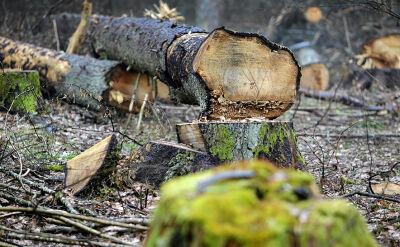 Ekolodzy przeciwko wycince |materiał archiwalny