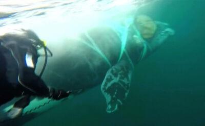 Sieć sparaliżowała wieloryba. Na pomoc ruszyła marynarka wojenna