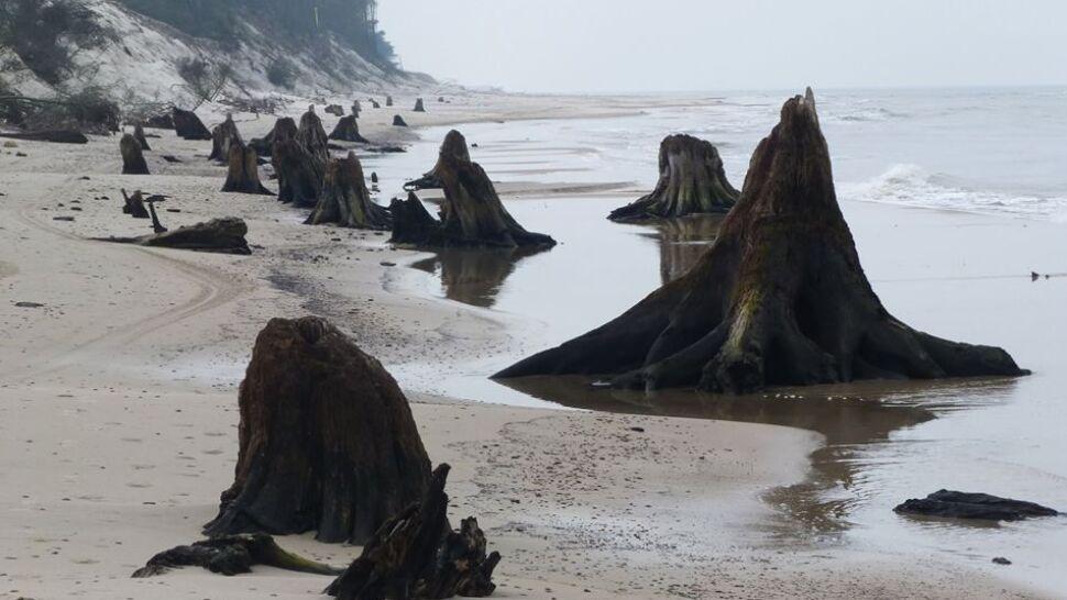 Bałtyk odsłonił las sprzed kilku tysięcy lat
