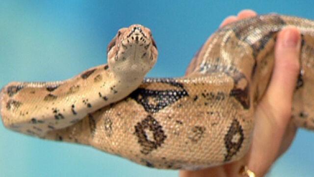 Kozyra tańczy z wężem