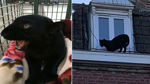 Nie taki zwyczajny kot. Czarna pantera na dachu kamienicy we Francji