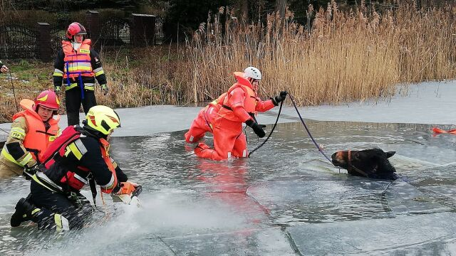 Koń zerwał się z liny i wbiegł na lód. Strażacy walczyli o jego życie