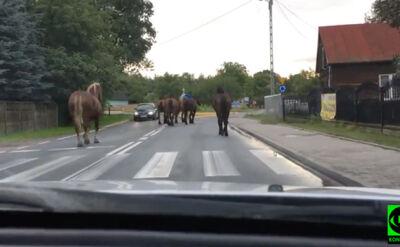 """Jechali na wczasy, drogę zagrodziły im konie. """"Szły jak u siebie"""""""