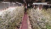Produkcja marihuany w stodole. Czarnorynkowa wartość to ponad milion złotych