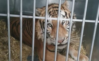 Poland: Rescued tigers find new home in Spain