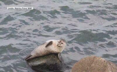 Młoda foka pozowała do zdjęć w Darłówku
