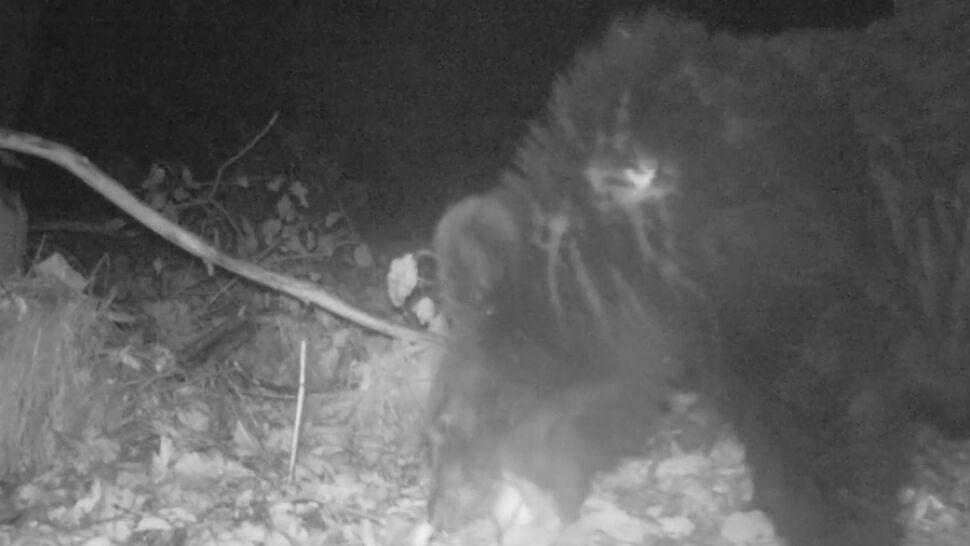 Trudna pora roku dla niedźwiedzi. Kuszą je sfermentowane jabłka