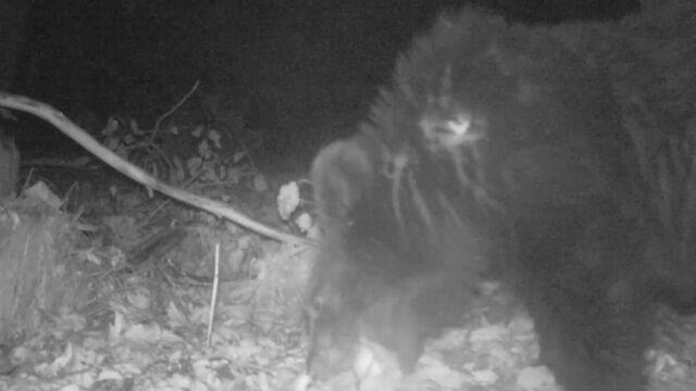 14.09.2019 | Trudna pora roku dla niedźwiedzi. Kuszą je sfermentowane jabłka