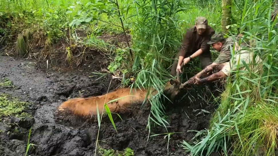 """""""Zwierzę było całkowicie w bagnie"""". Jelenia uratowali leśnicy"""