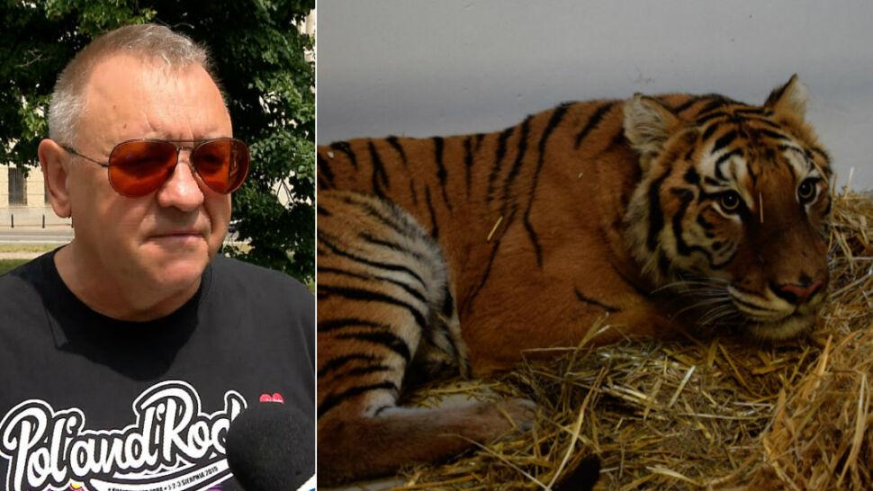 Tygrysy z transportu mają się już lepiej. Jest zbiórka na budowę azylu