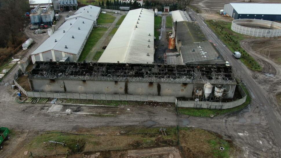 Potężny pożar w chlewni pod Śremem. Zginęło 800 zwierząt