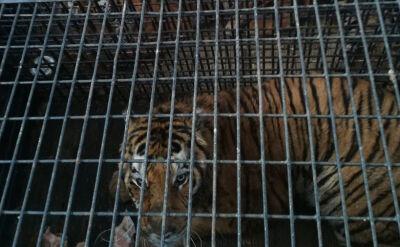 Tygrysy z granicy przekazane pod opiekę poznańskiego zoo