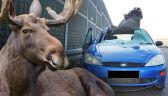 21.06 | Skutek zderzenia z łosiem – samochód z zerwanym dachem