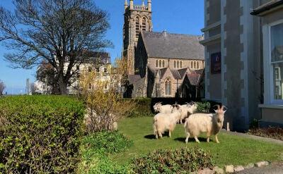 Ludzie w domach, zwierzęta na ulicach. W walijskim mieście pojawiły się dzikie kozy