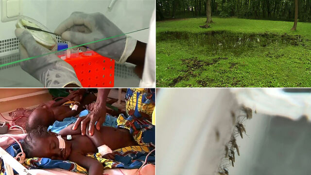 Nowy sposób na walkę z komarami. Transgeniczny grzyb z jadem pająka