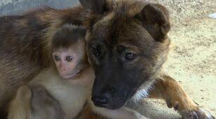 Rolnik uratował ranną małpkę. Jego pies został