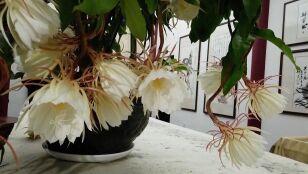 Ta roślina zakwita tylko  na chwilę. Królowa Jednej Nocy uwieczniona