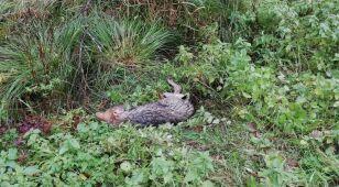 Leśniczy uratował rannego wilka