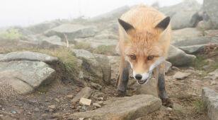 Zaszczepią lisy z Małopolski przeciwko wściekliźnie