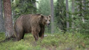 W Beskidach grasuje głodny niedźwiedź. Turyści powinni uważać