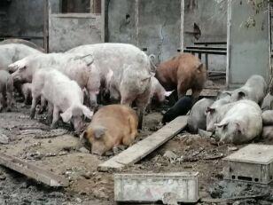 Farma grozy. Kozy pasły się wśród szczątków zwierząt, a świnie gryzły się z głodu